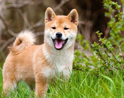Races chiens irrésistibles
