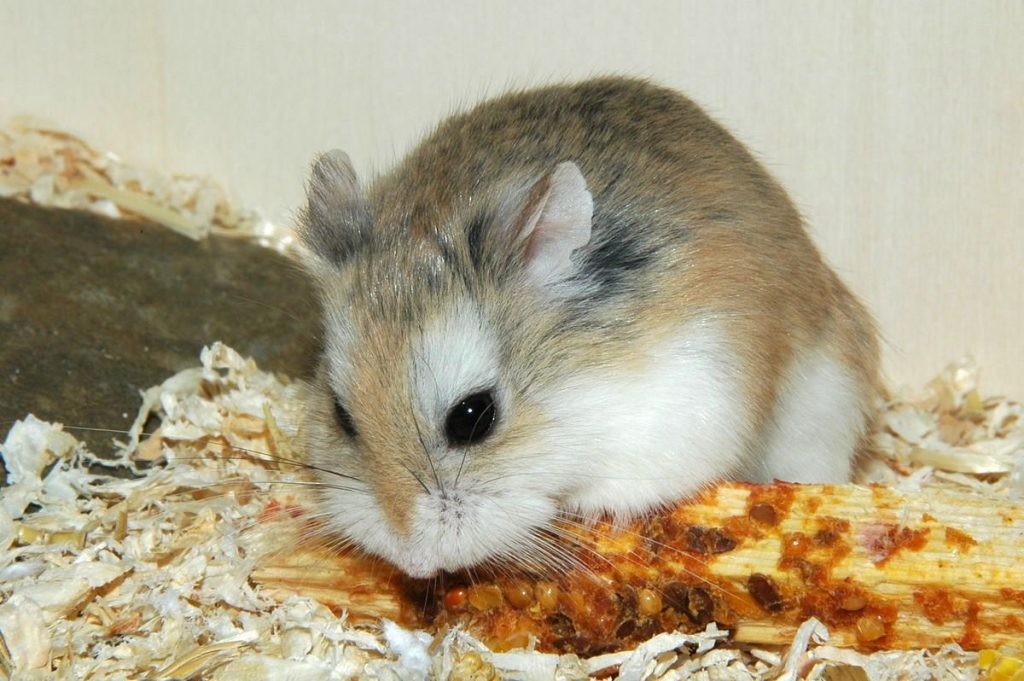 Hamster géant
