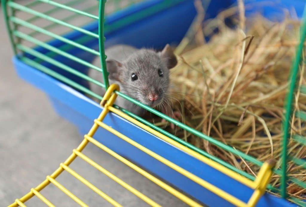 Nettoyage cage rat