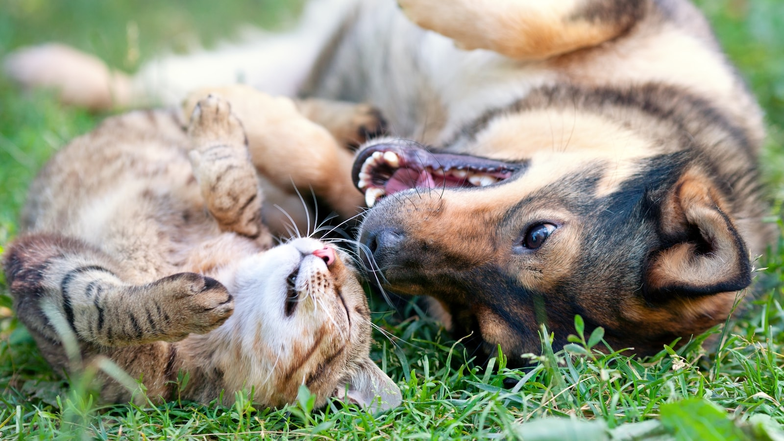 Deux animaux de compagnie entrain de jouer