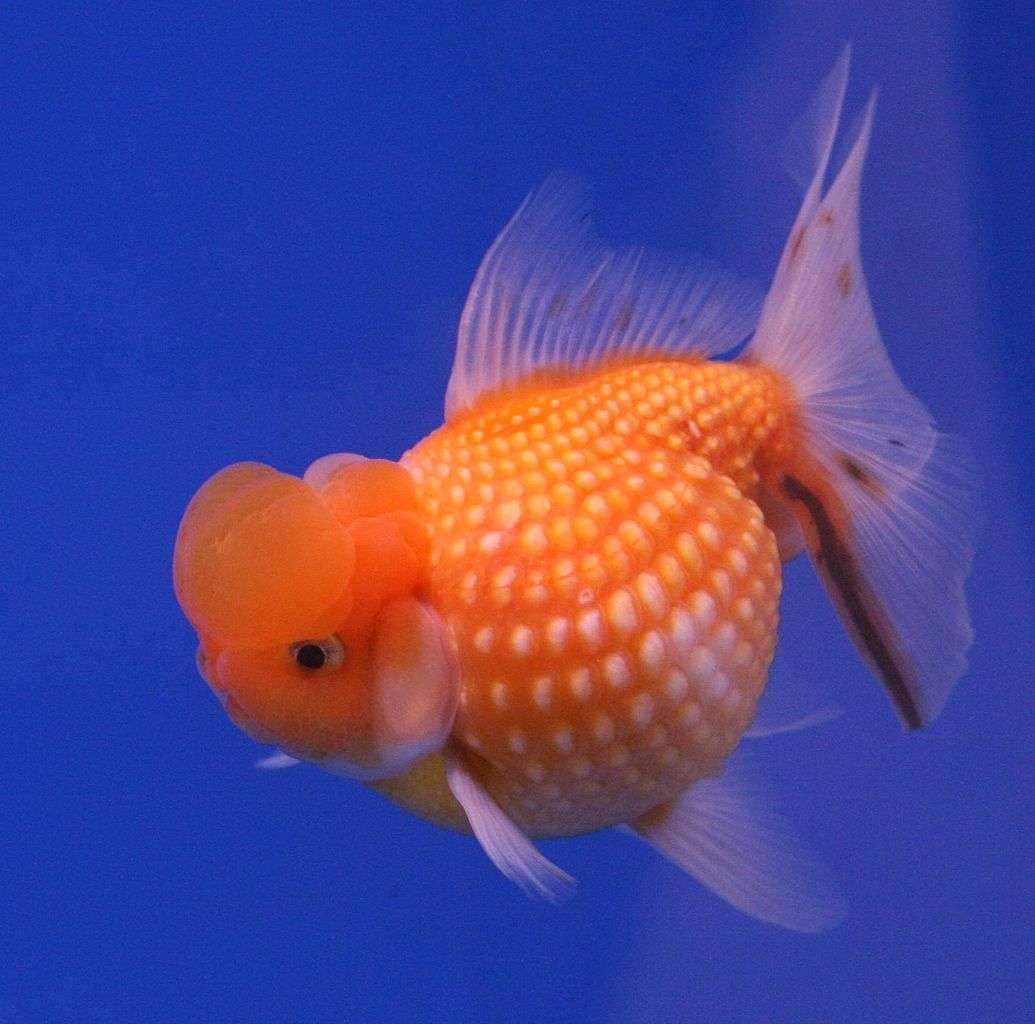 Un poisson rouge comme animal de compagnie