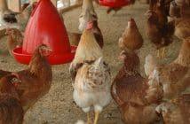 Quels matériels choisir pour l'élevage avicole ?